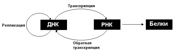 realizatsiya-nasledstvennoy-informatsii-transkriptsiya