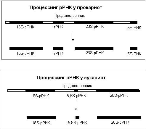 У эукариот рРНК и тРНК могут
