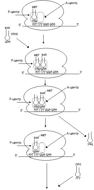 полипептида от тРНК,